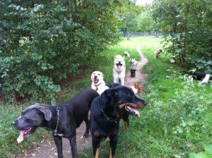 promenade en groupe de chiens sur Vincennes